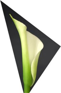 Single Calla Closeup (c) Alvy Ray Smith